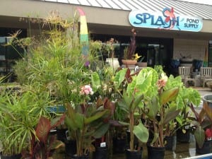 Pond Plants at Splash Supply