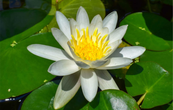 Plant Spotlight: Albida Waterlily