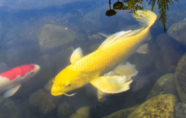 What are butterfly koi?