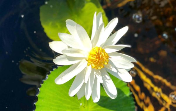 Plant Spotlight: Trudy Slocum Waterlily