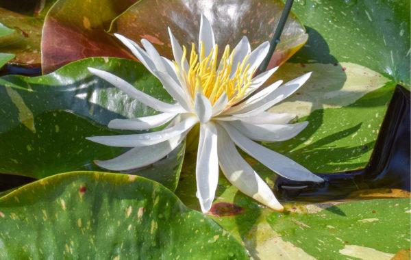 Plant Spotlight: Arc-En-Ciel Waterlily