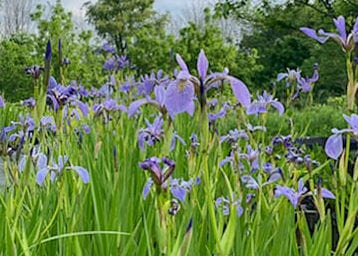 Plant Spotlight: Blue Flag Iris