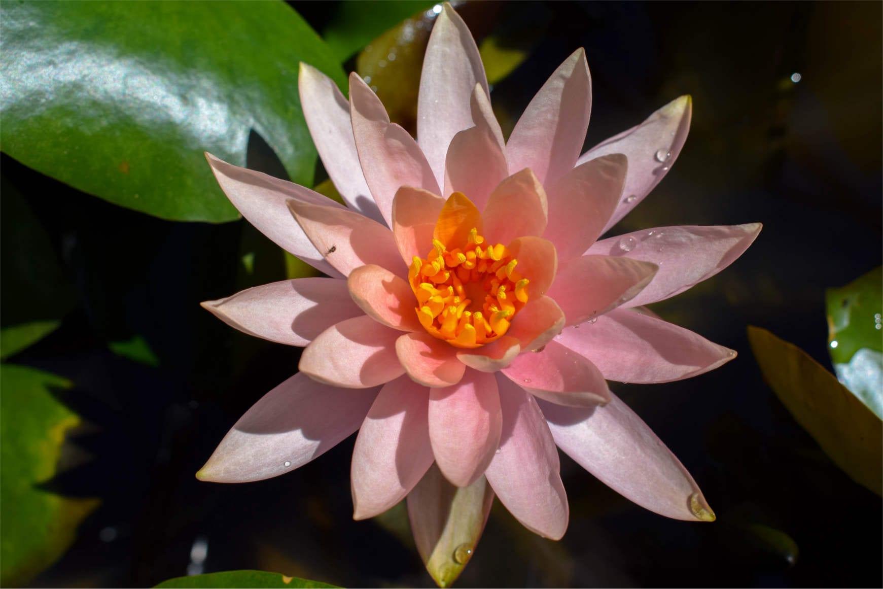Colorado Waterlily