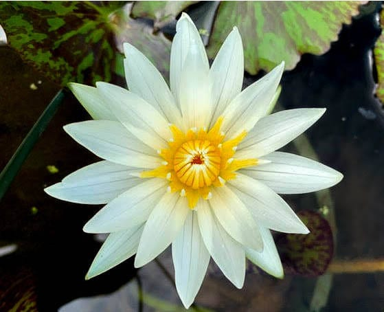 Plant Spotlight: Crystal Waterlily