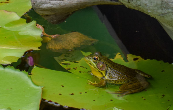All about Green Frogs