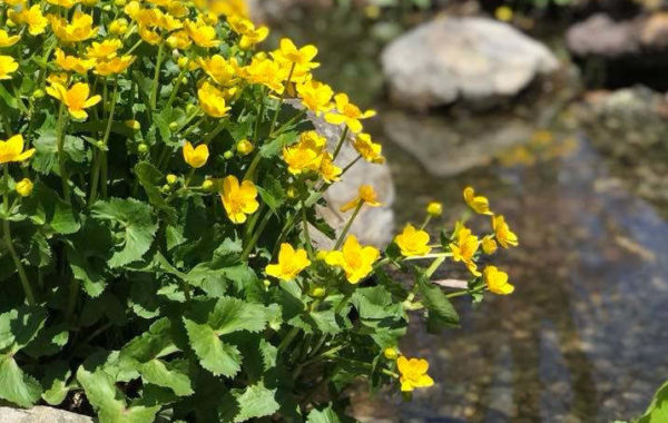 Plant Spotlight: Marsh Marigold
