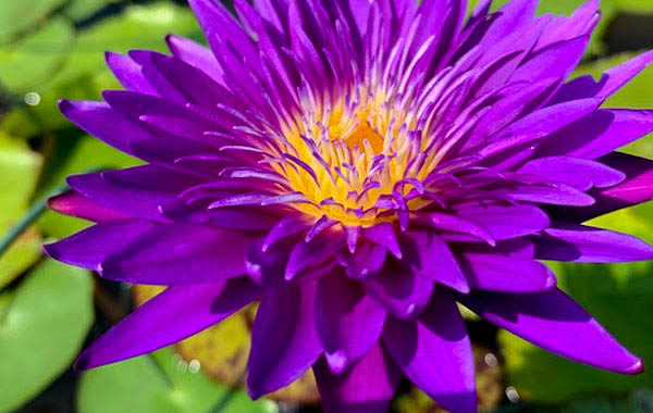 How to Care for Tropical Waterlilies