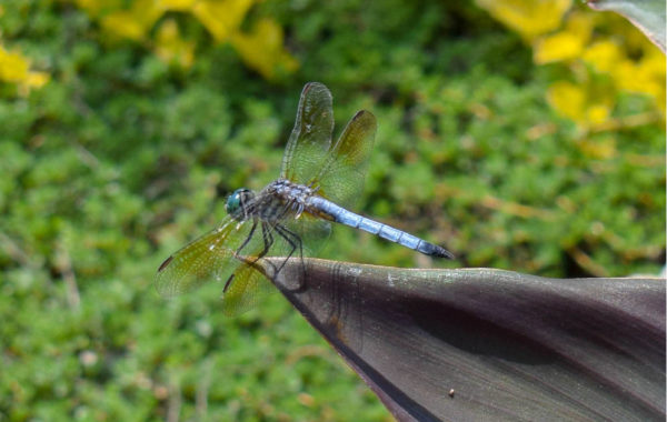 9 Facts about Dragonflies