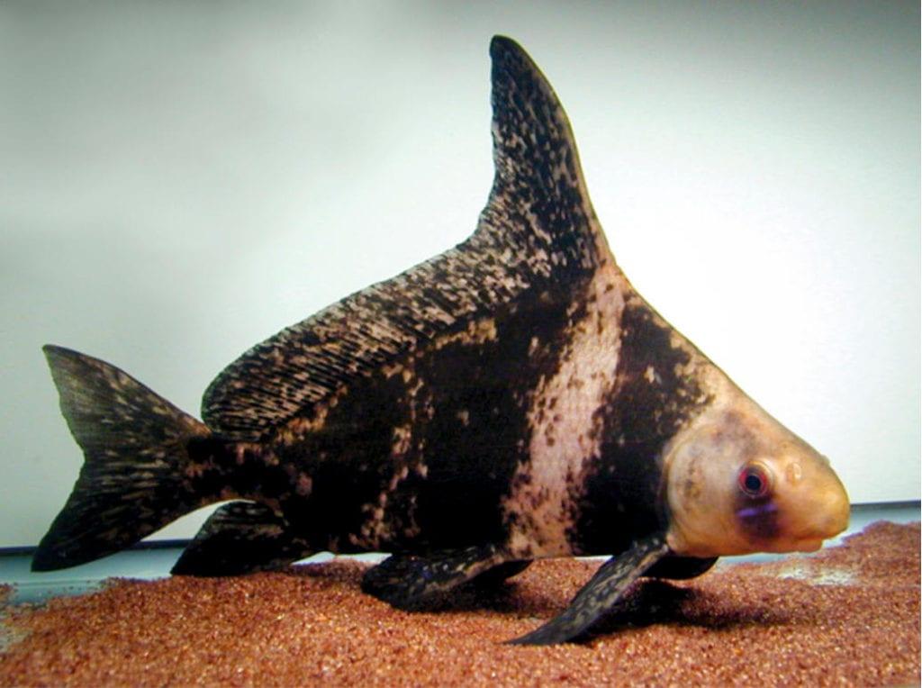 Hi-Fin Banded Shark
