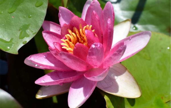 Plant Spotlight: Attraction Waterlily