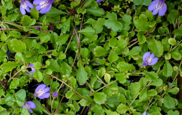 Plant Spotlight: Blue Creeping Mazus