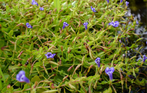 Plant Spotlight: Blue Moneywort