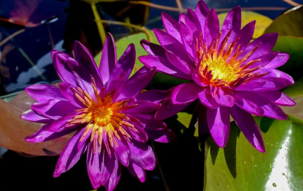 Plant Spotlight: Purple Fantasy Lily