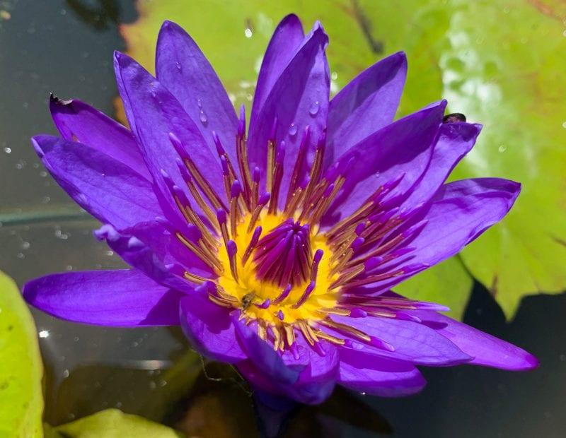 Director George T. Moore Tropical Waterlily